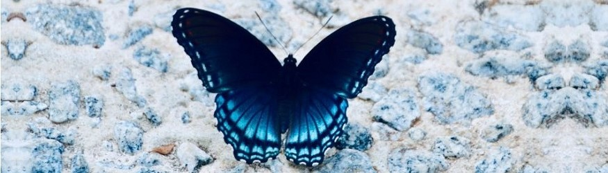 A blue butterfly. [1]